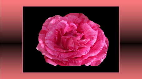 208-4 - Jeune rose fragile 2- Ggo - WP